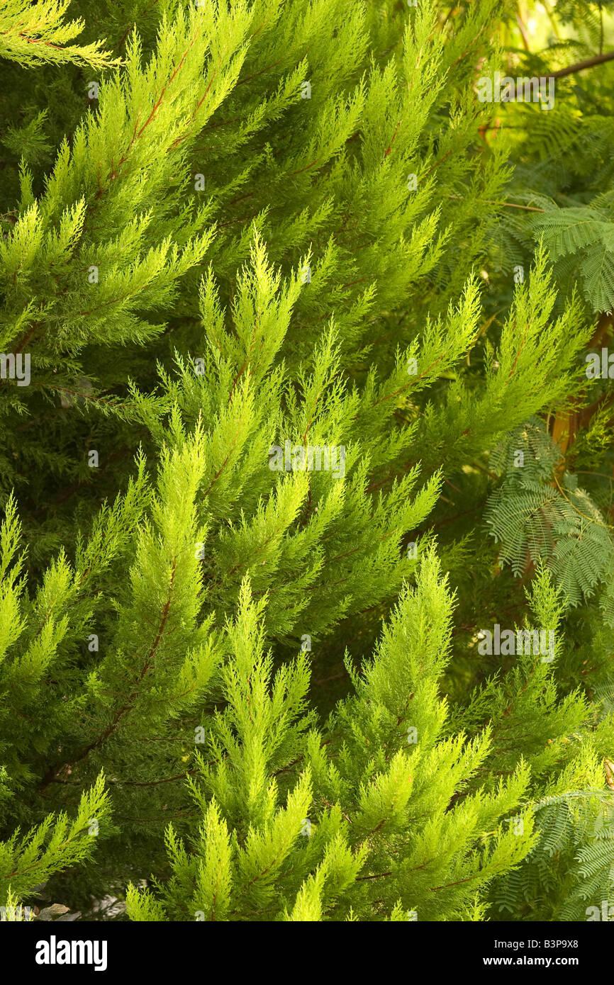 Turkey Tree - Stock Image