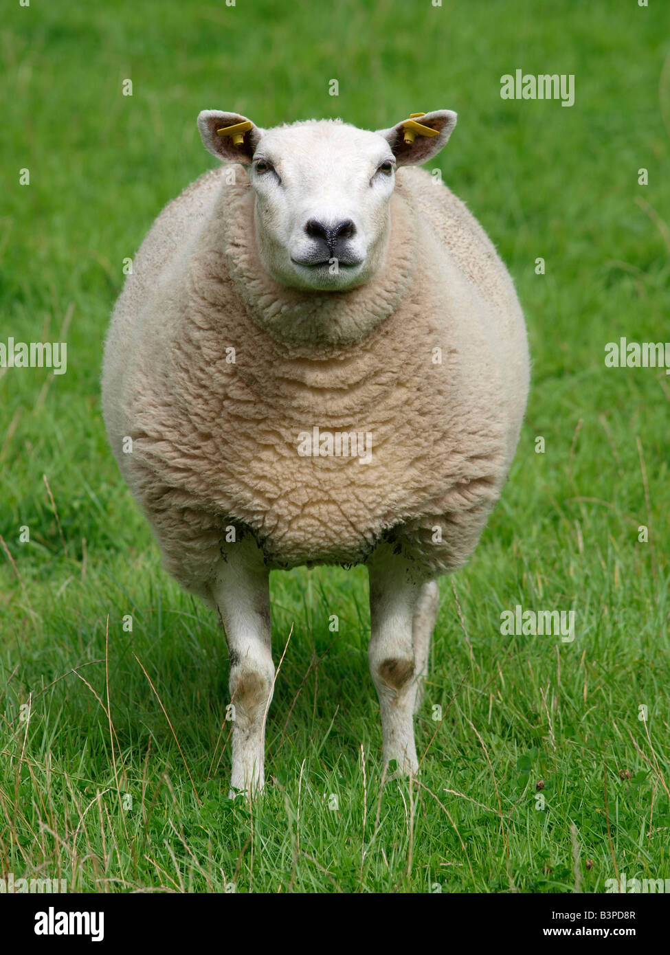 Sheep animal portrait frontal standing in grass field Fijnaart - Stock Image