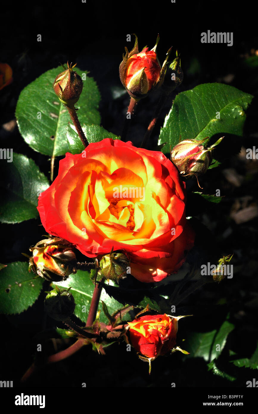 cloesup rose Nahaufnahme Rose - Stock Image