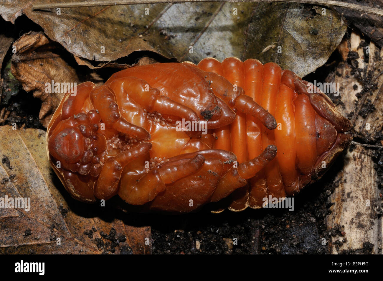 Pupal stage of the female European Rhinoceros Beetle Oryctes nasicornis seen at locatition Kalundborg Denmark in - Stock Image