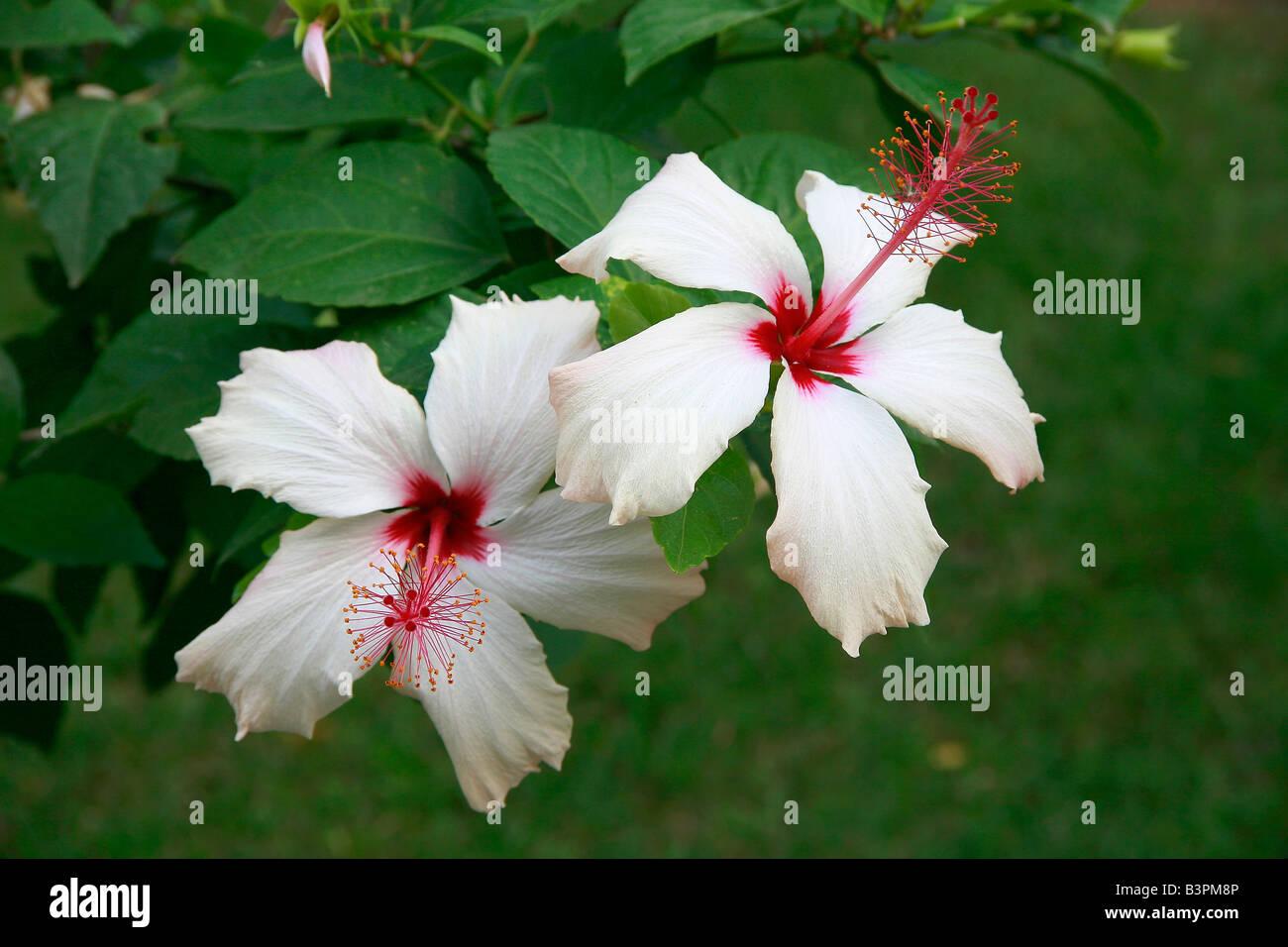 Hibiscus Rosa Sinensis White Wings Stock Photo 19553206 Alamy