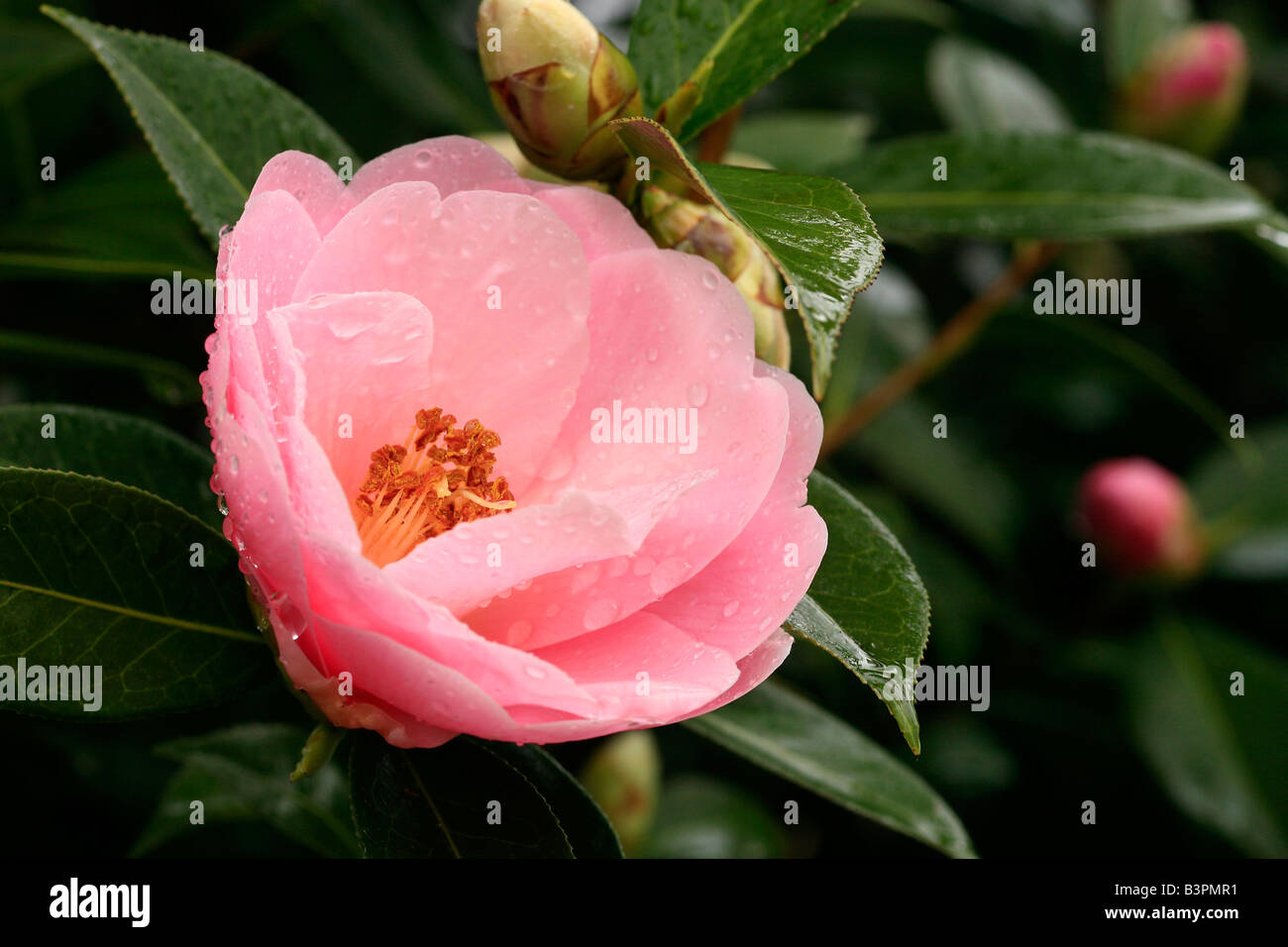 Camellia 'E. G. Waterhouse' - Stock Image