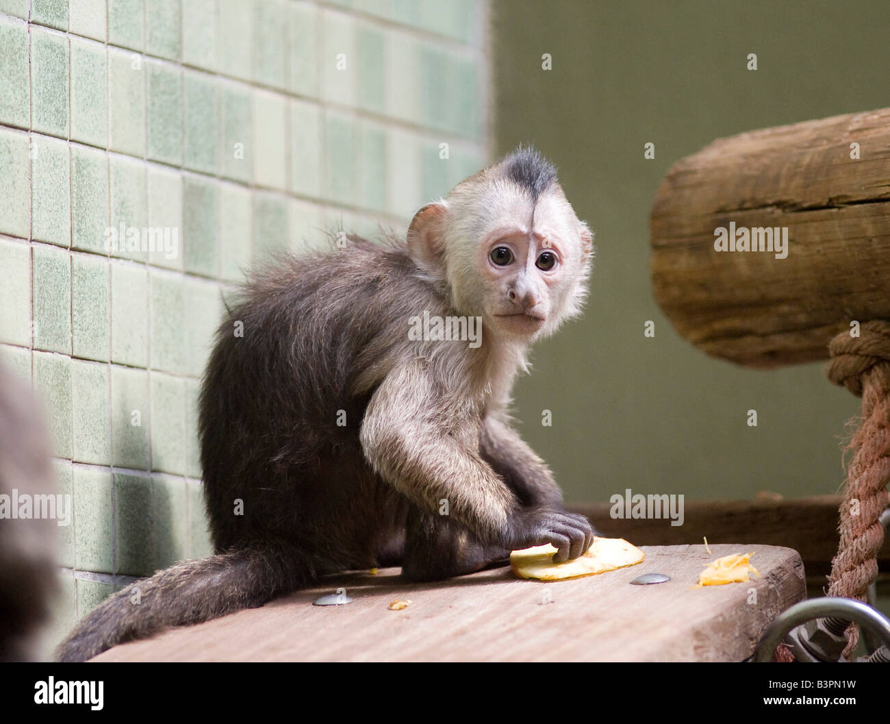 White-headed Capuchin (Cebus capucinus), young animal in Berlin Zoo, Berlin, Germany, Europe Stock Photo