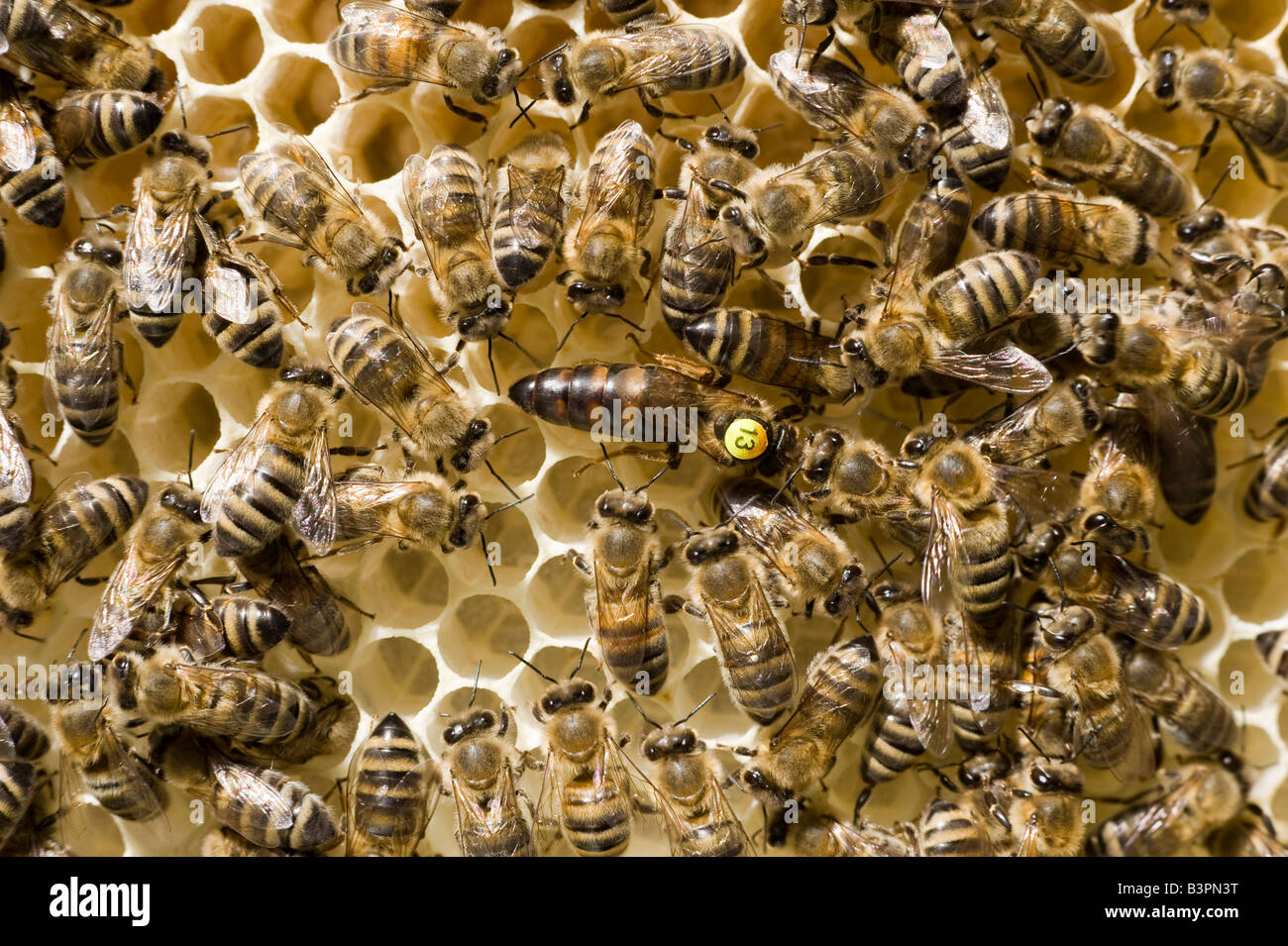 Bees (Apis melifera carnica) in a beehive, the queen is marked with a number - Stock Image