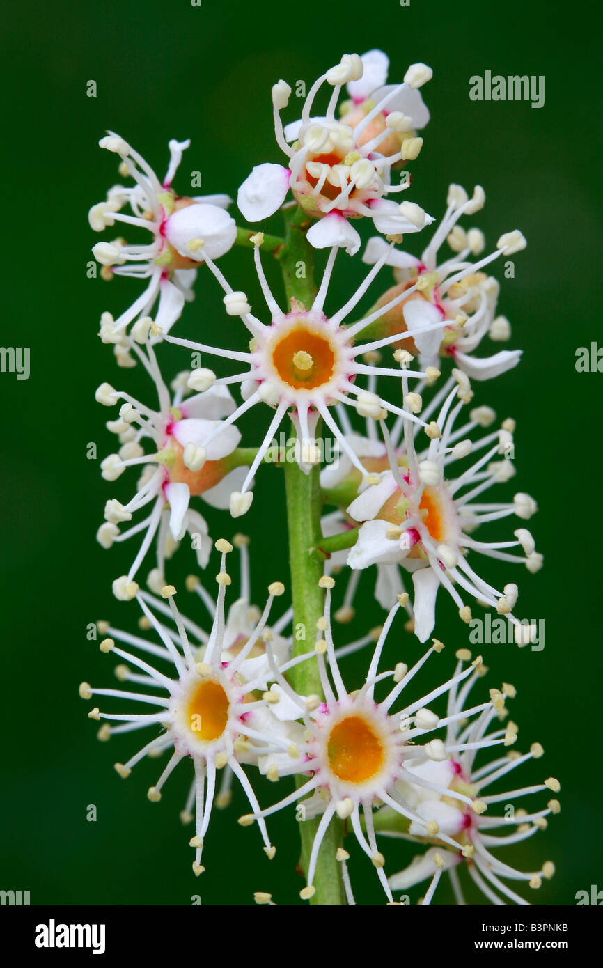 Prunus laurocerasus, flowers - Stock Image