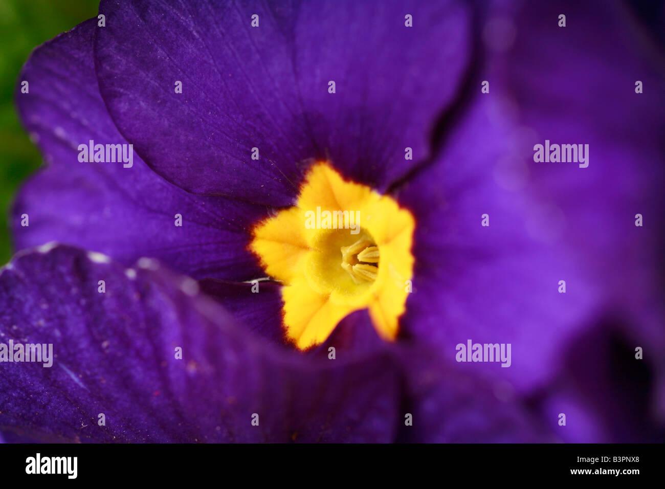 Primula vulgaris 'Prominent' - Stock Image