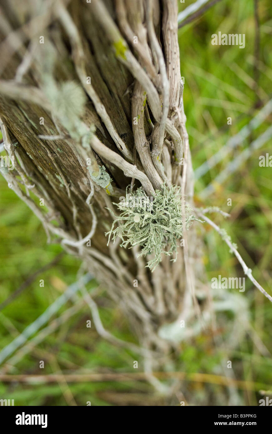 Lichens grow on dead vines on a fencepostStock Photo