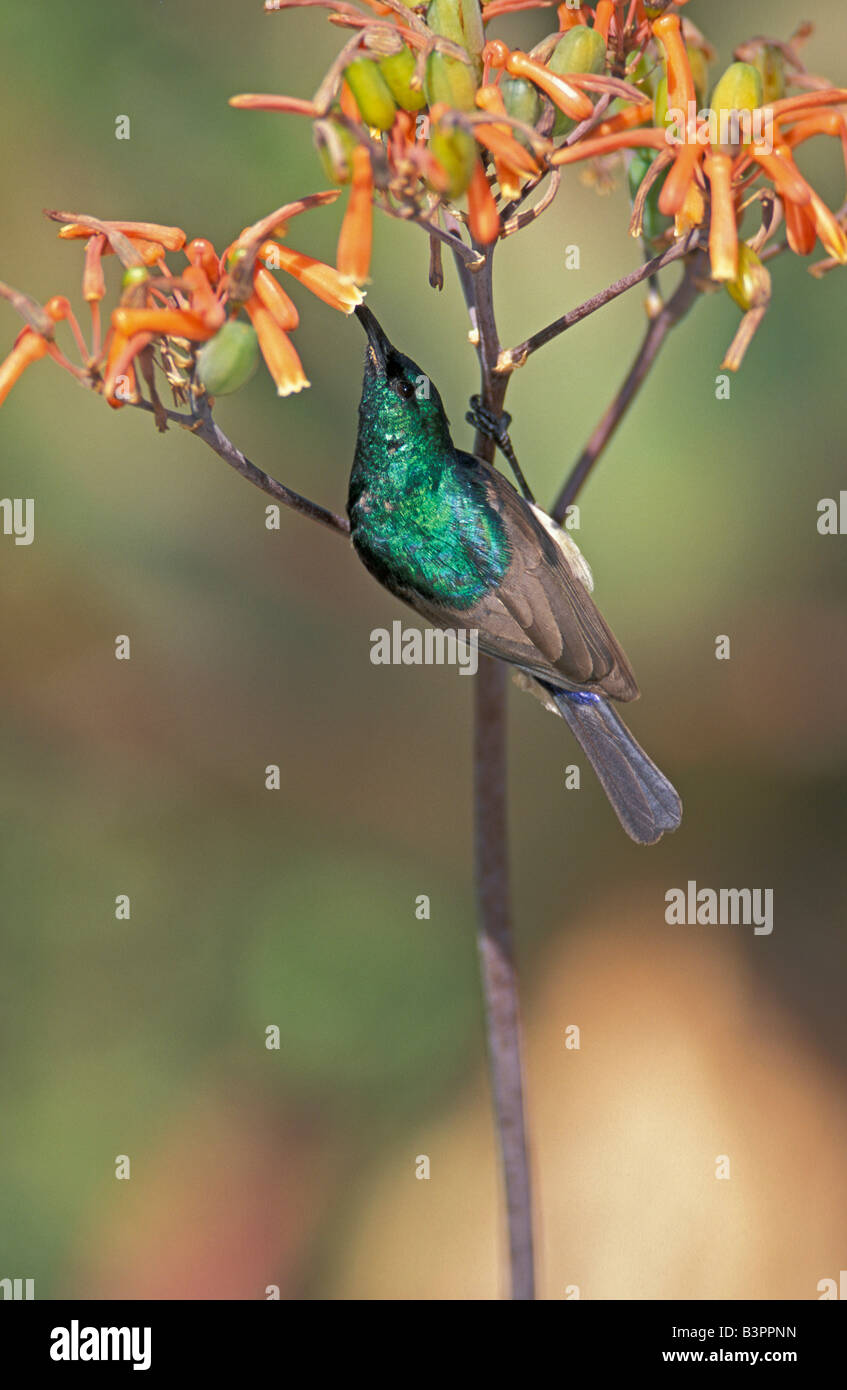 Greater Double-collared Sunbird (Nectarinia afra), male, on a blossom, feeding, South Africa Stock Photo