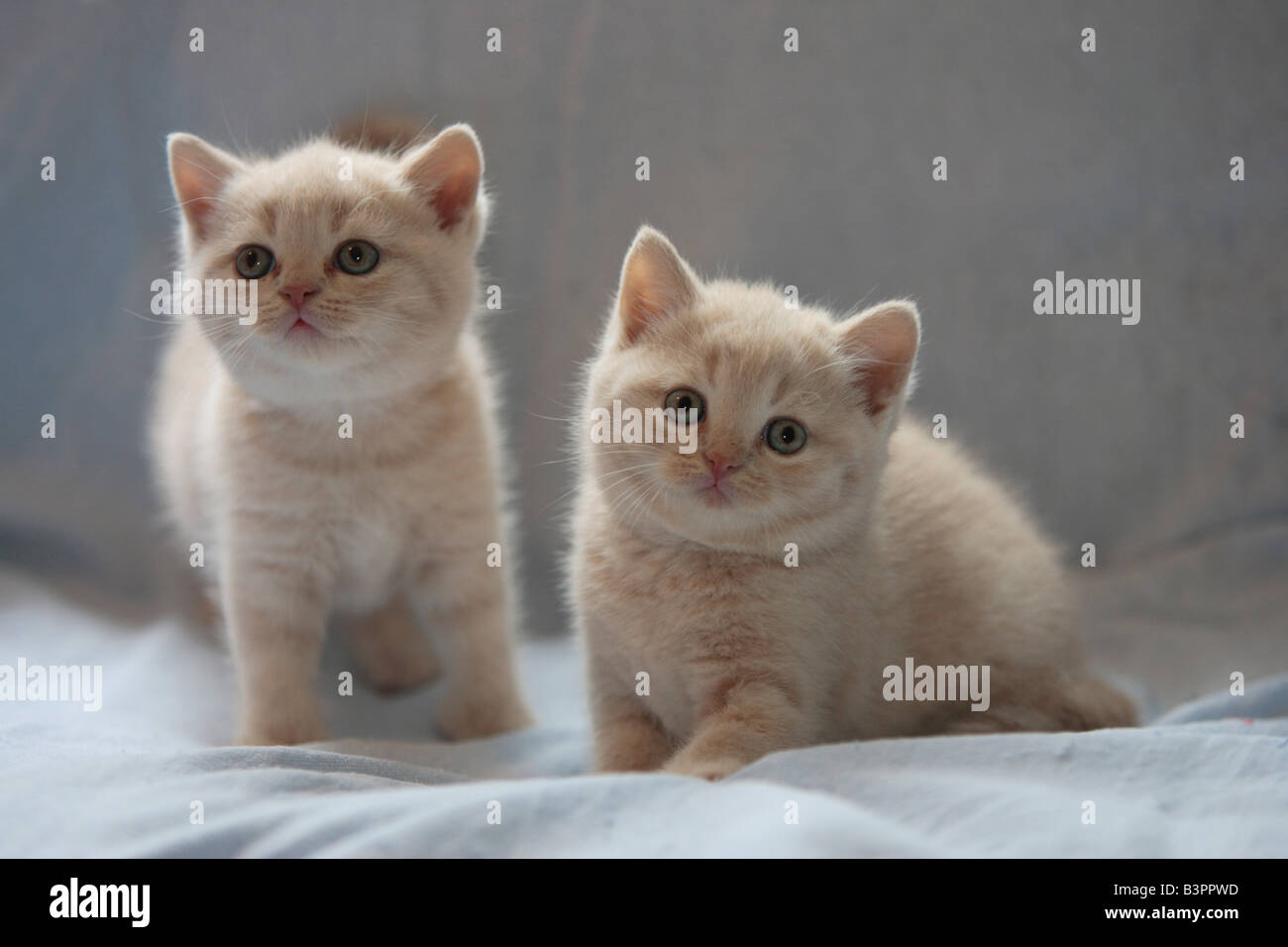 Kittens, Casrthusian (Silvestris domestic spec.) - Stock Image