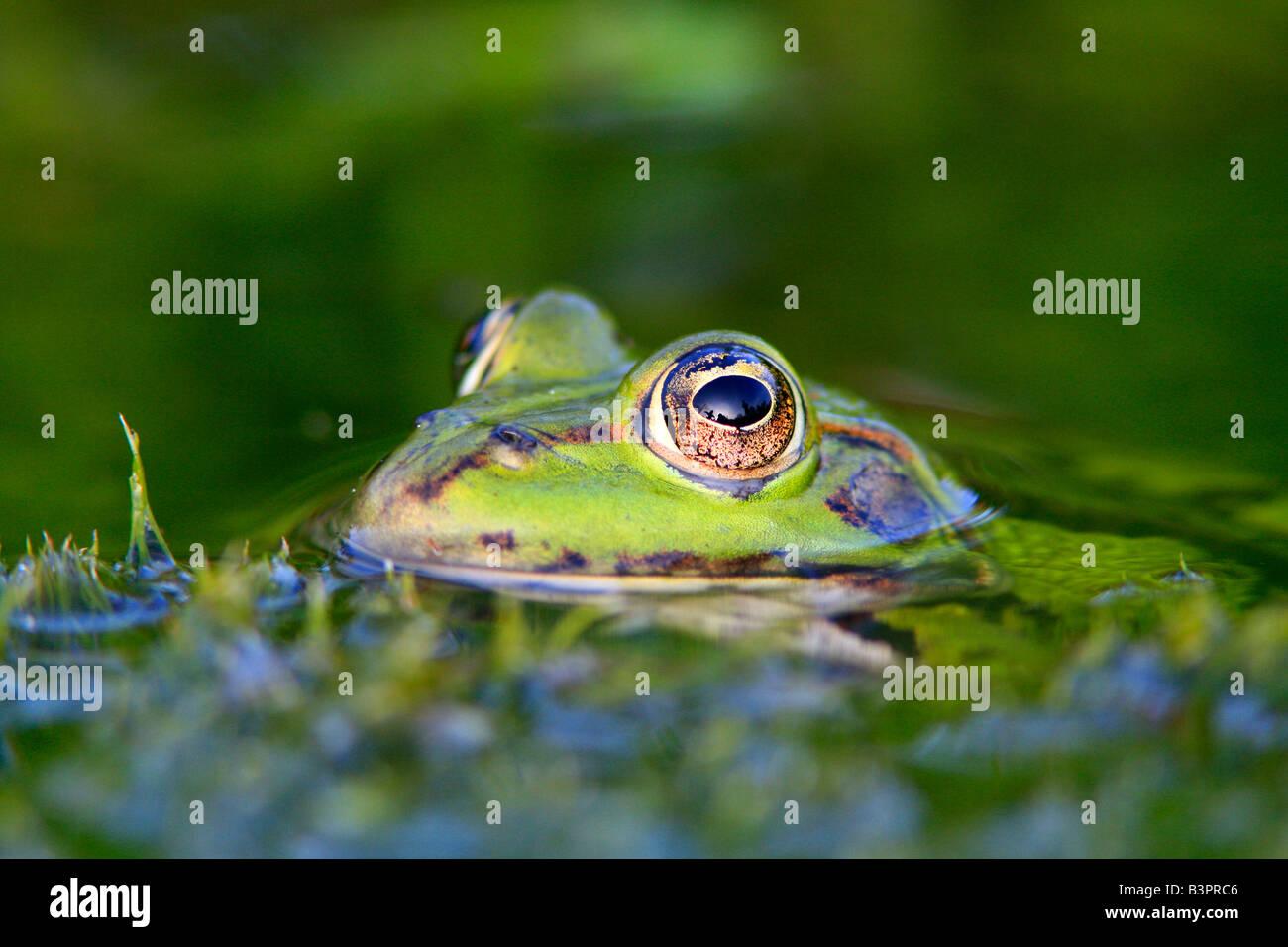 Edible Frog ( Pelophylax kl. esculentus), portrait - Stock Image