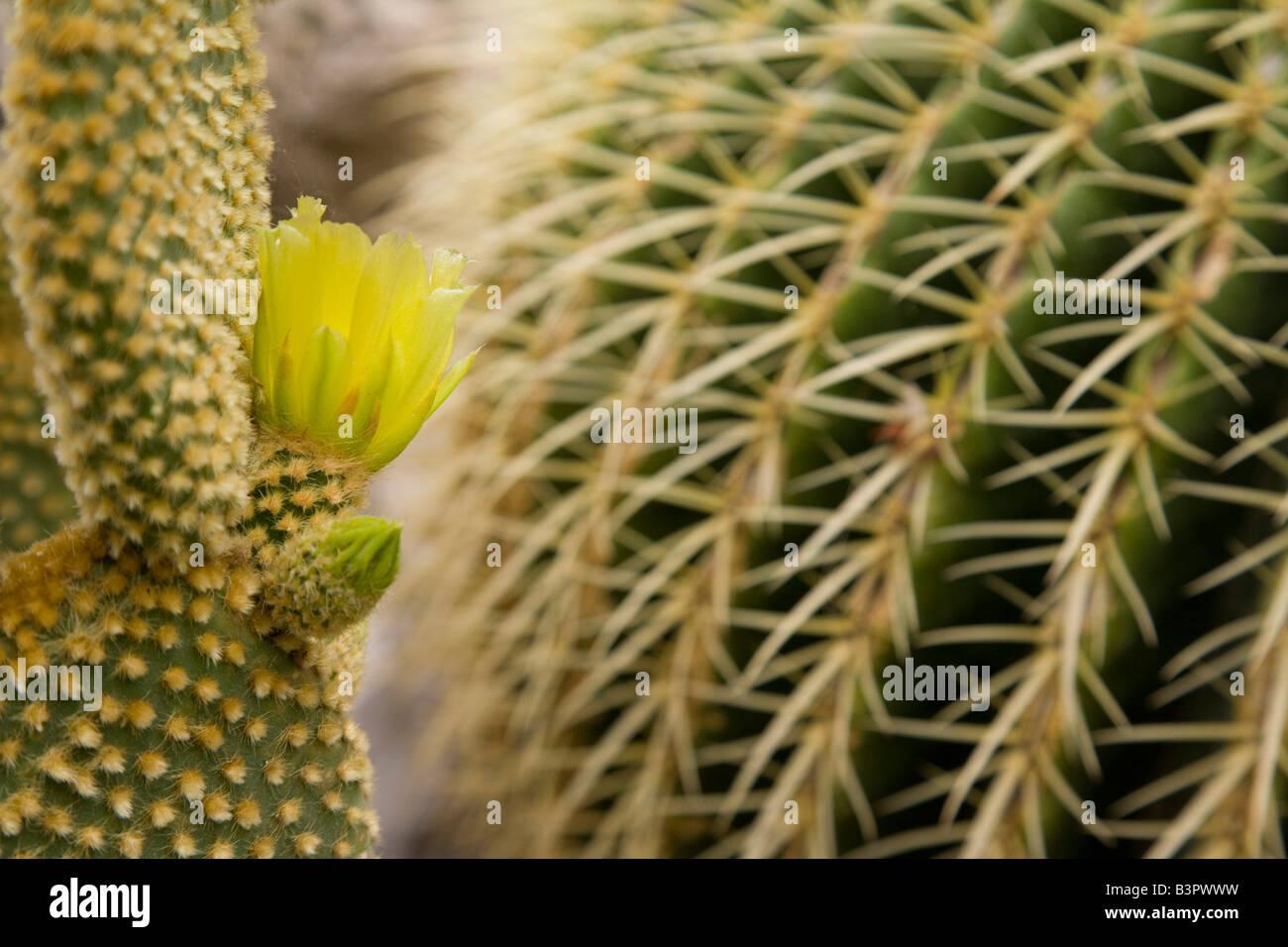 Monaco, Cote d'Azur, Flowering cactus, close up - Stock Image