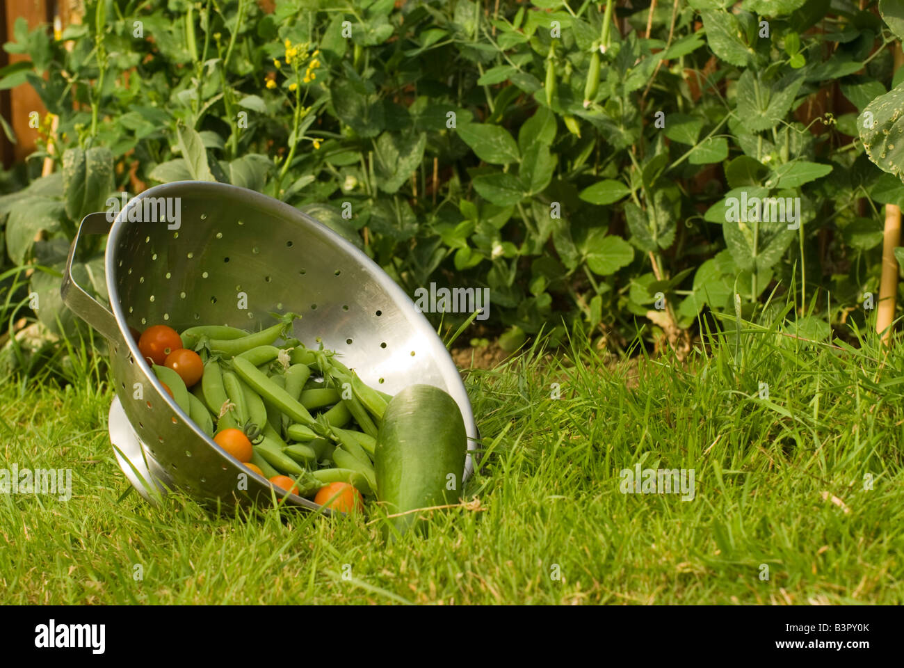 Garden produce spills from a colinder that sits on it's side on a lawn infront of the plants that produced it. - Stock Image
