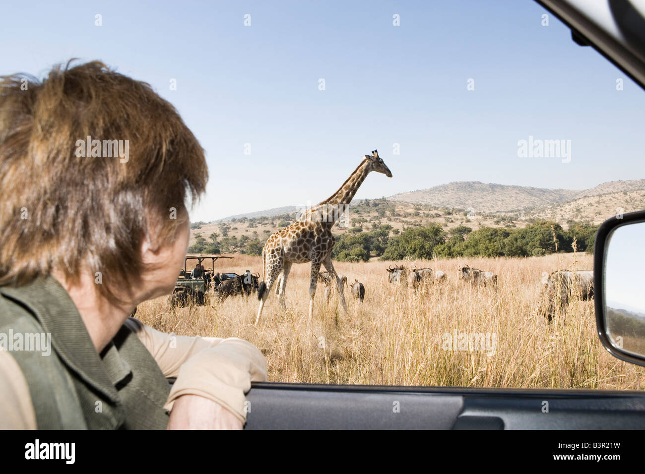 Safari vehicle with tourists, looking at giraffes, Glen Afrique, Gauteng, South Africa - Stock Image