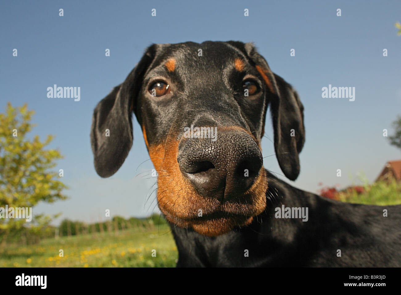 doberman - portrait - Stock Image