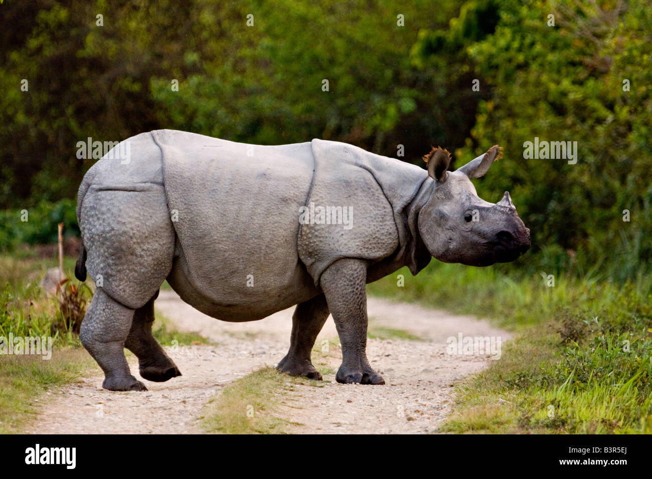 Food asian one horned rhino consider, that