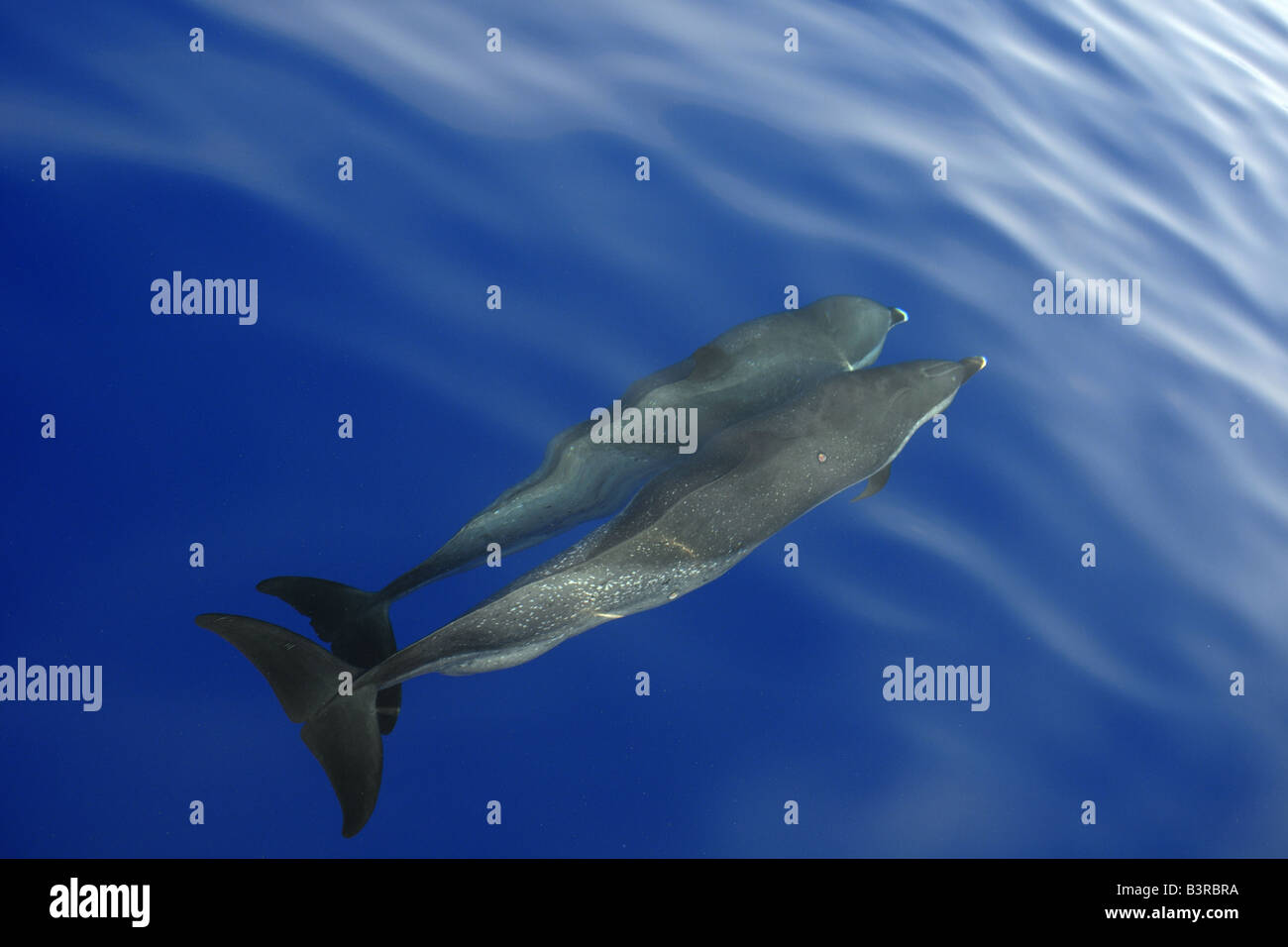 Pantropical spotted dolphin Stenella attenuata bow riding near the surface Kailua Kona Hawaii Stock Photo