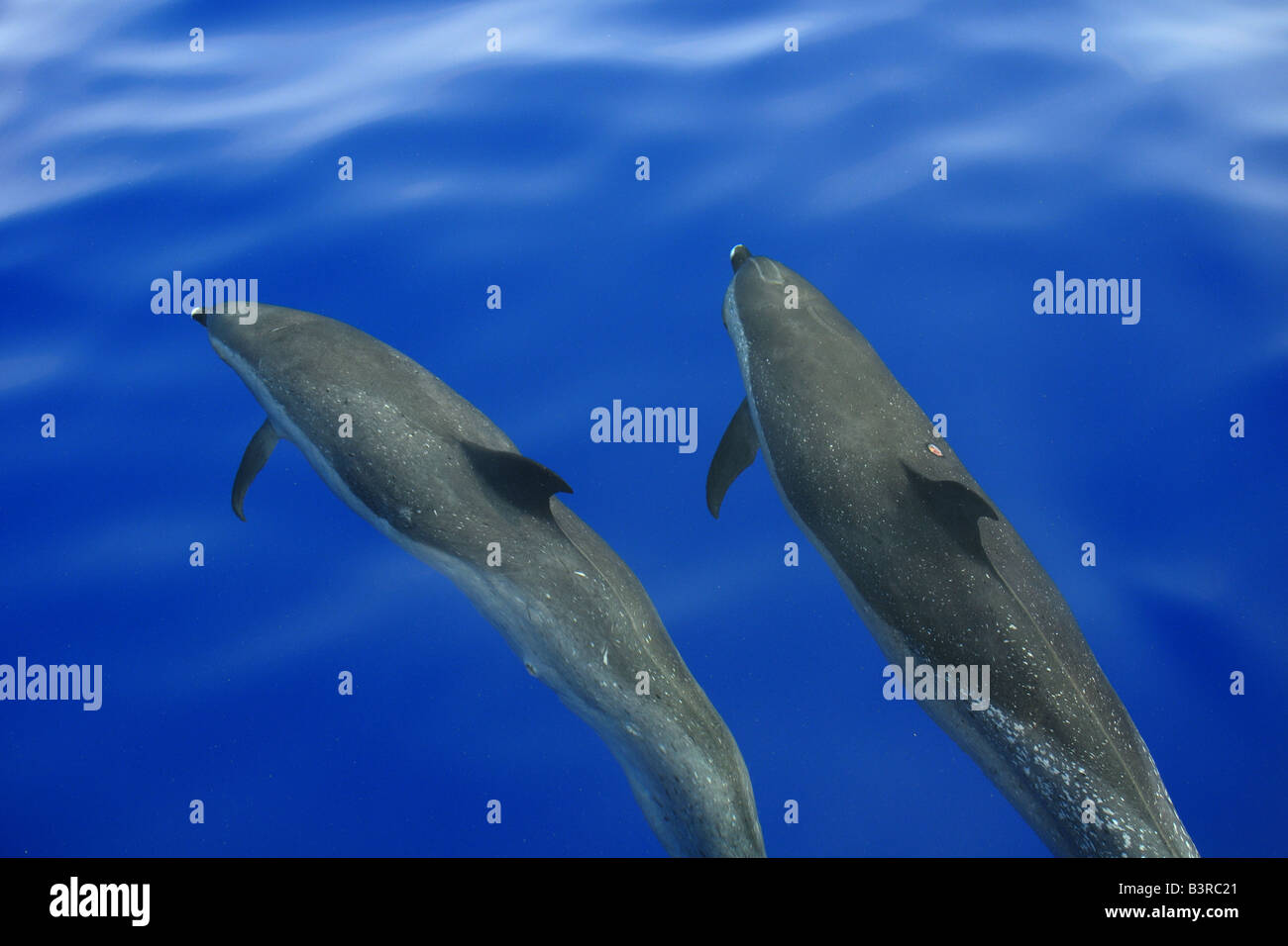 Pantropical spotted dolphin Stenella attenuata bow riding near the surface Kailua Kona Hawaii - Stock Image