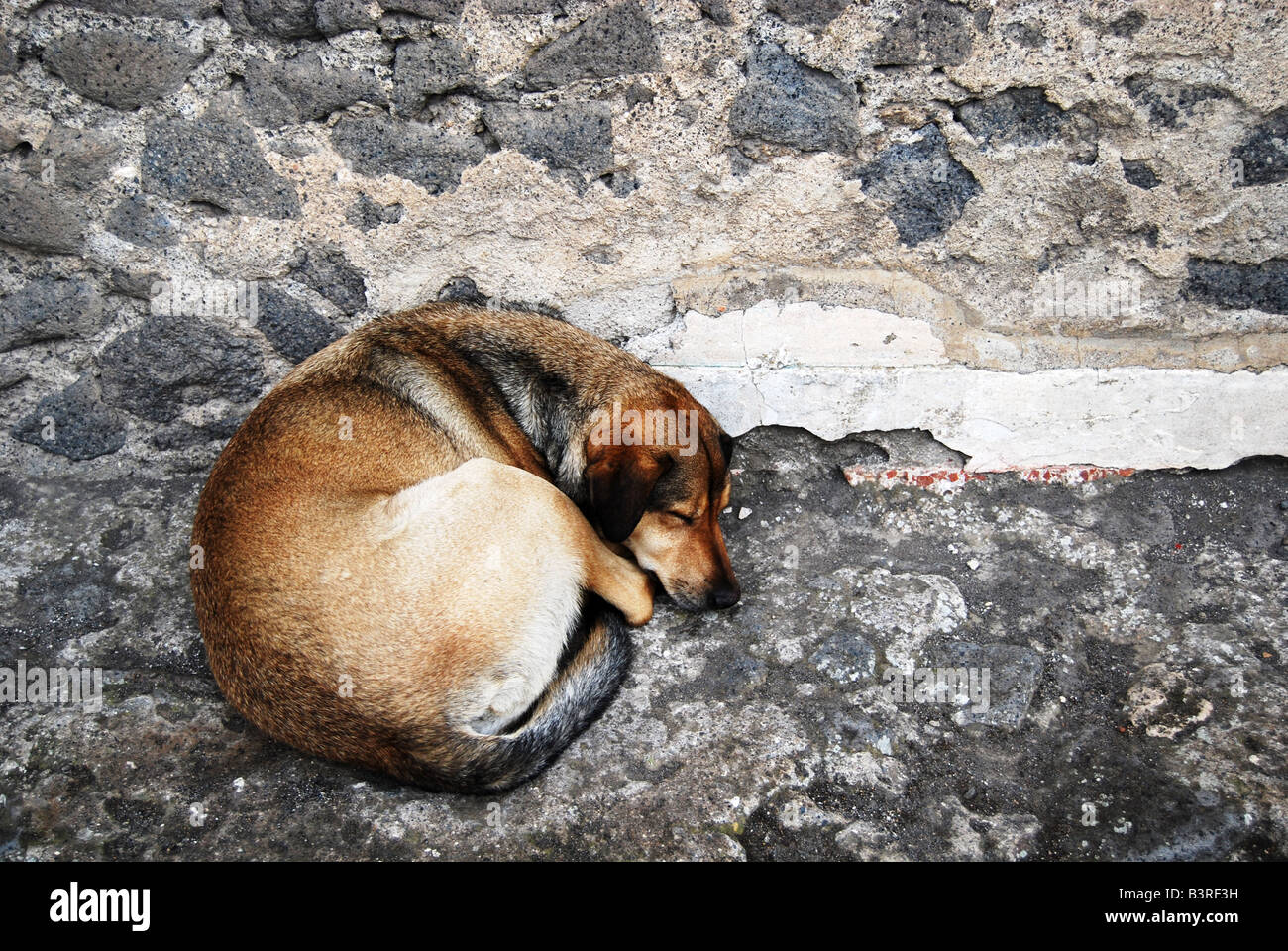 Sleeping dog curled up next to rock wall - Stock Image