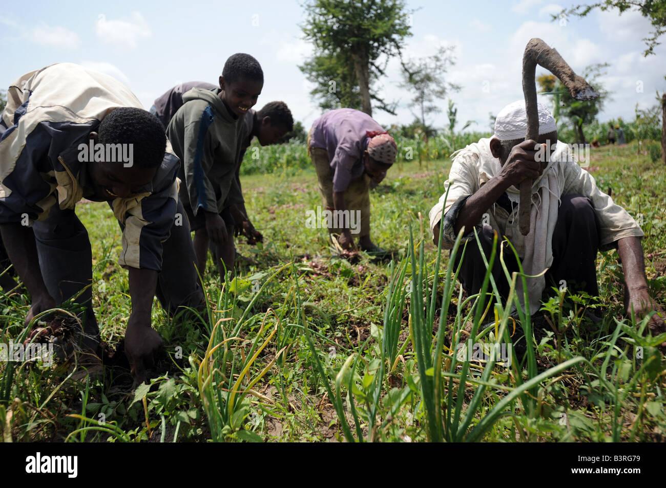 Farm labourers harvest farmer Sunir Sushreta s oinion crop in Mareko Woreda Southern Ethiopia - Stock Image