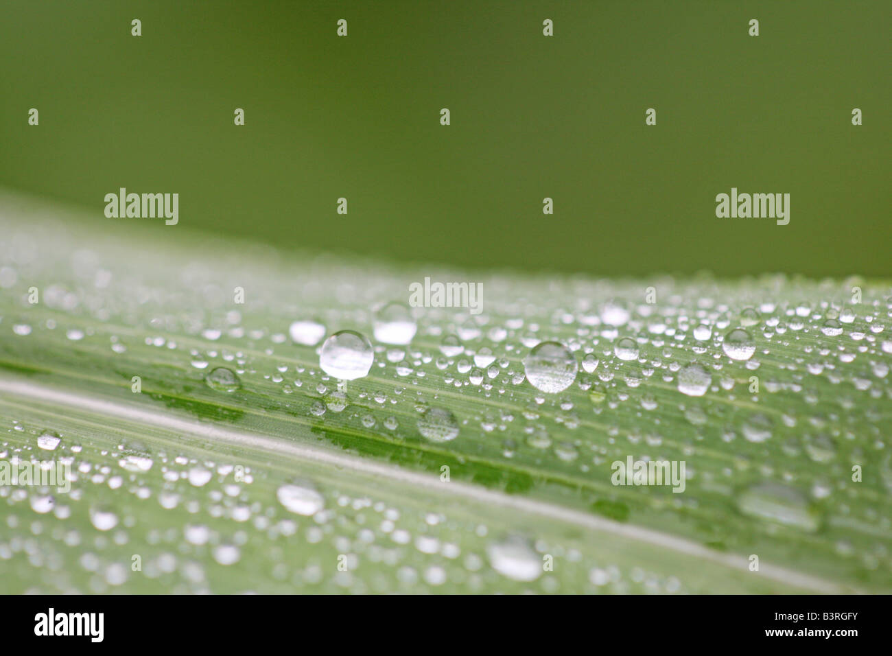 close up of water drops on leaf surface - Stock Image