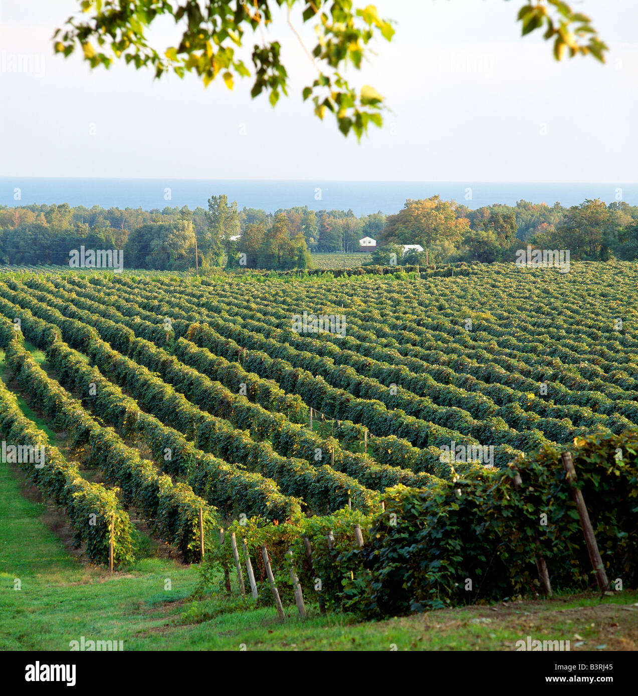 CONCORD GRAPE VINEYARDS & LAKE ERIE BEYOND, TOWN OF NORTH EAST, PENNSYLVANIA, USA - Stock Image