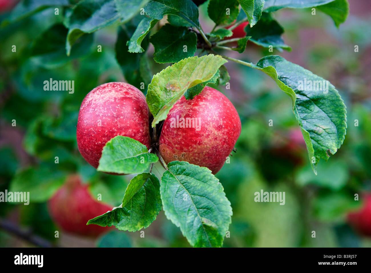 Diseased eating apples on tree - Stock Image