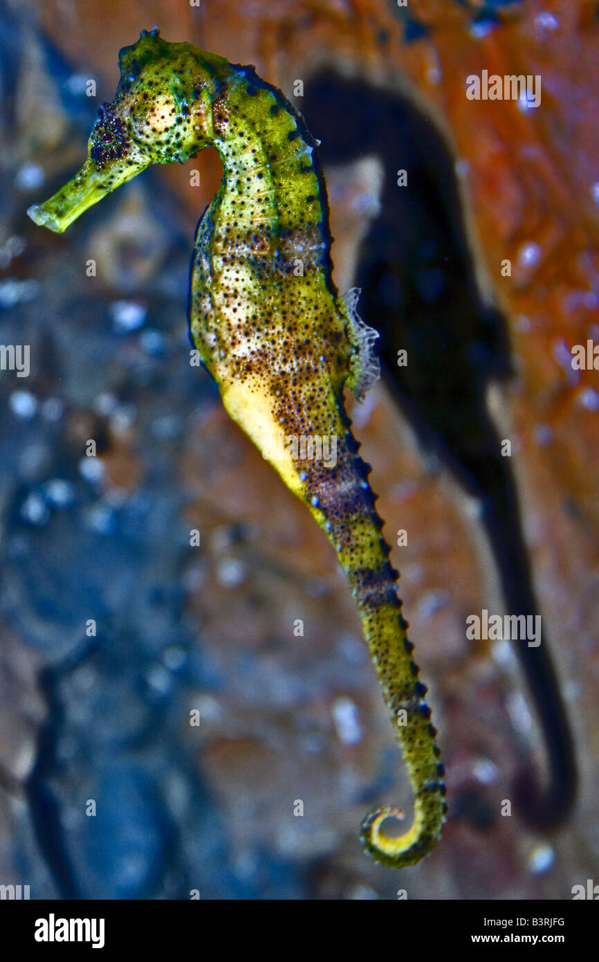 A portrait colour photograph of a seahorse - Stock Image