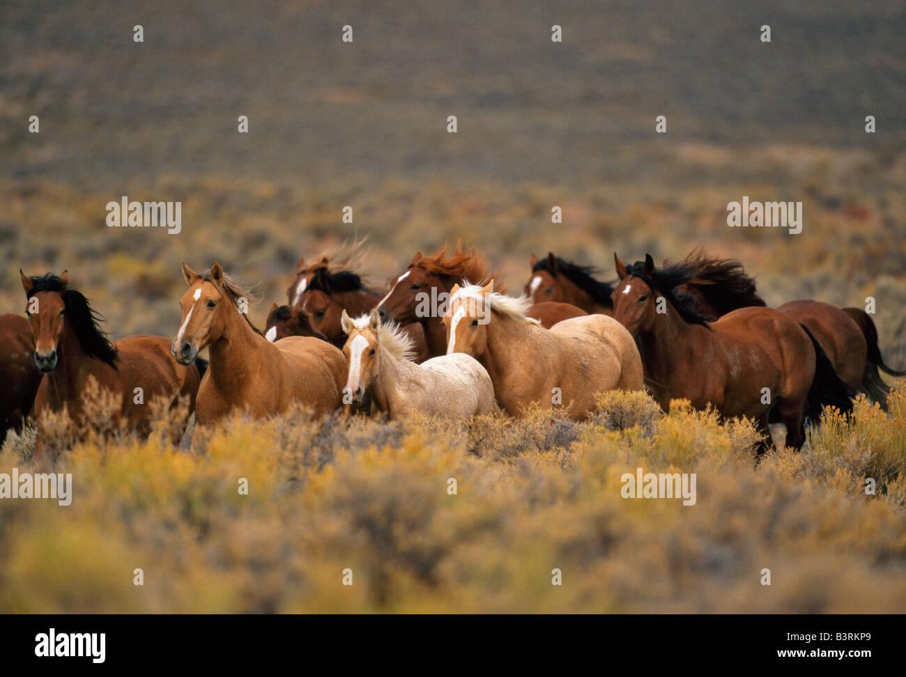 Herd Of Wild Horses Running High Desert Stock Photo Alamy