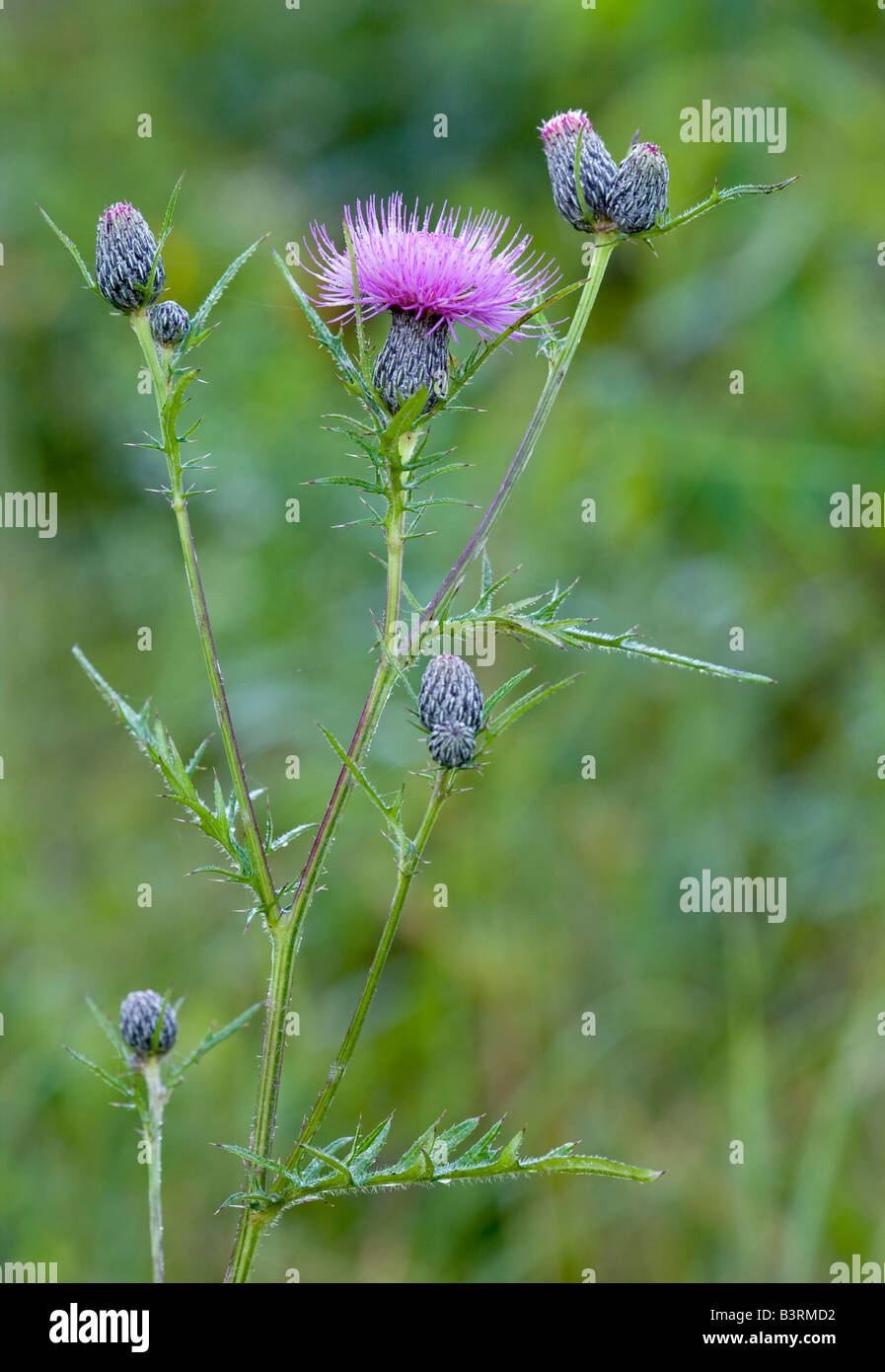 Fen thistle or swamp thistle, Cirsium muticum, Iowa - Stock Image