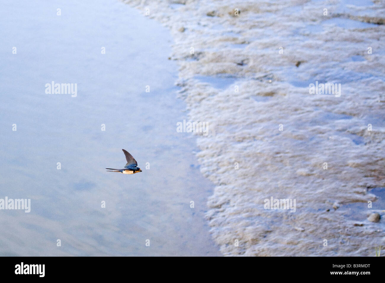 Barn Swallow Hirundo rustica carrying mud and twigs for a nest in its mouth in flight over a muddy marsh at low - Stock Image