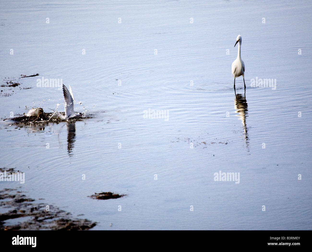 A Snowy Egret and Forster's Tern engaged in cooperative feeding. - Stock Image