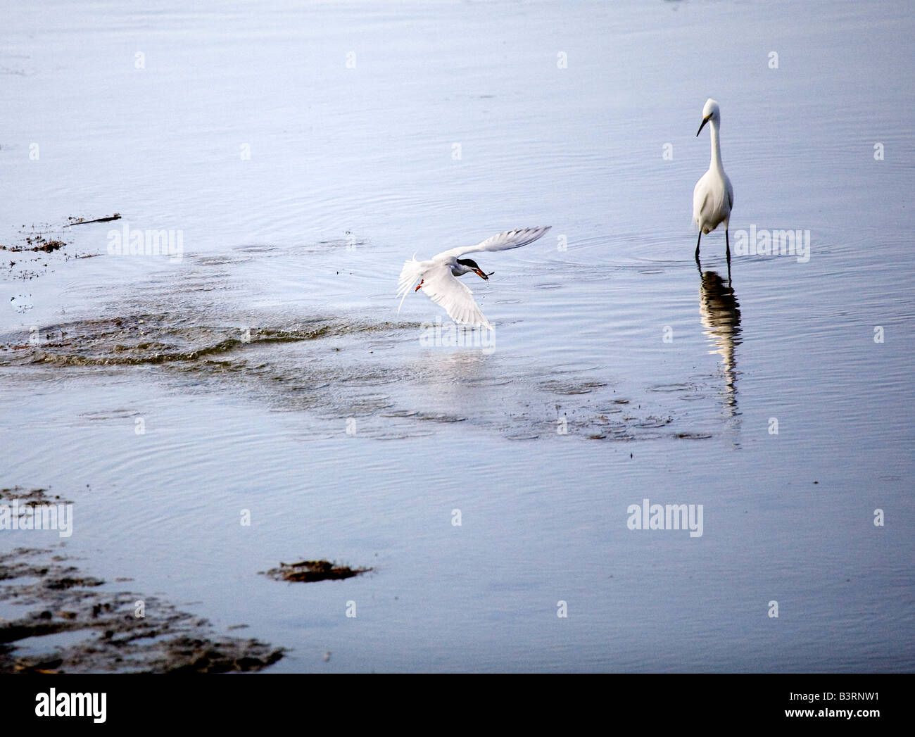 A Snowy Egret and Forster s Tern engaged in cooperative feeding - Stock Image
