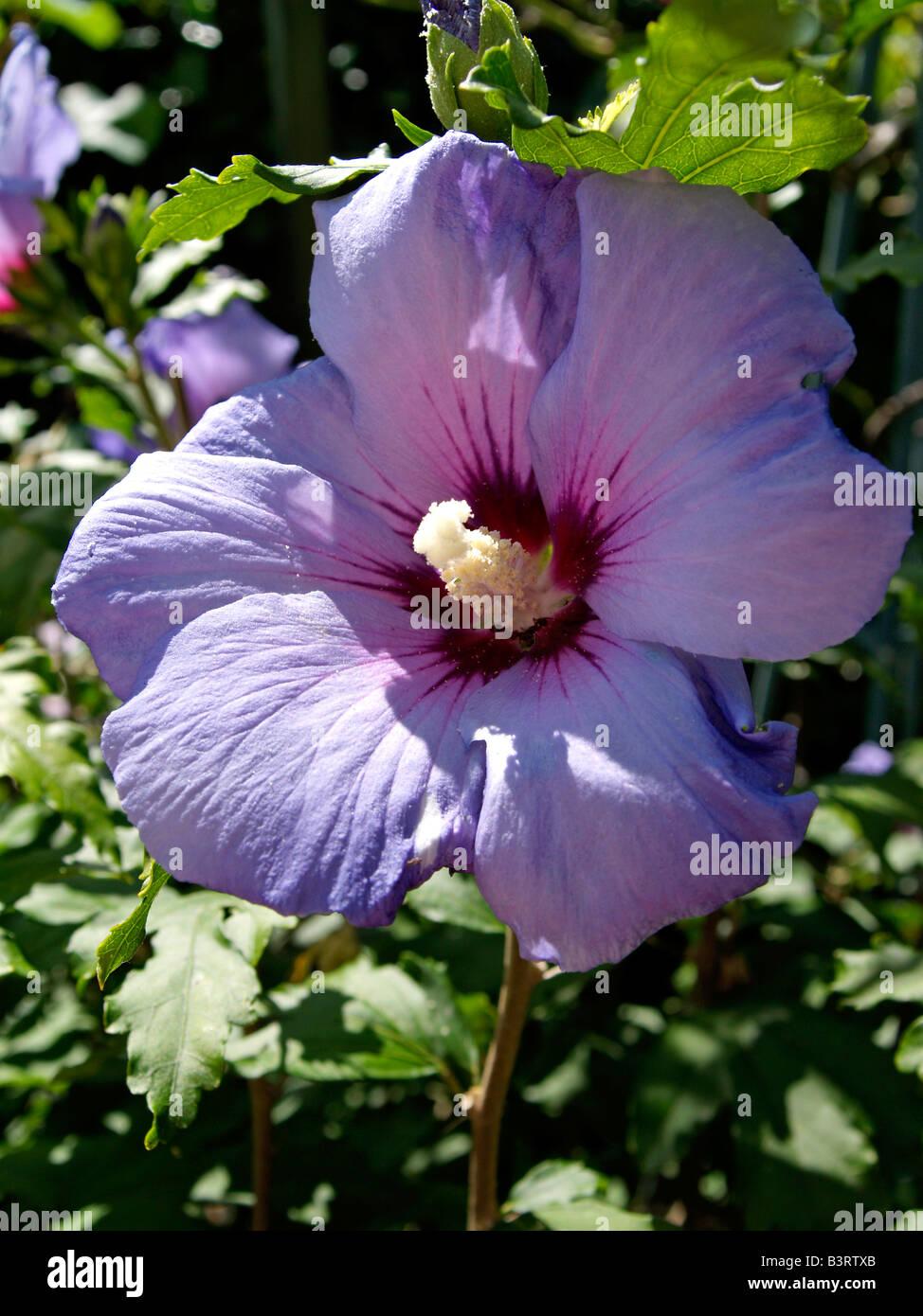 Bluehende Malve, Mallow (Malva) Stock Photo