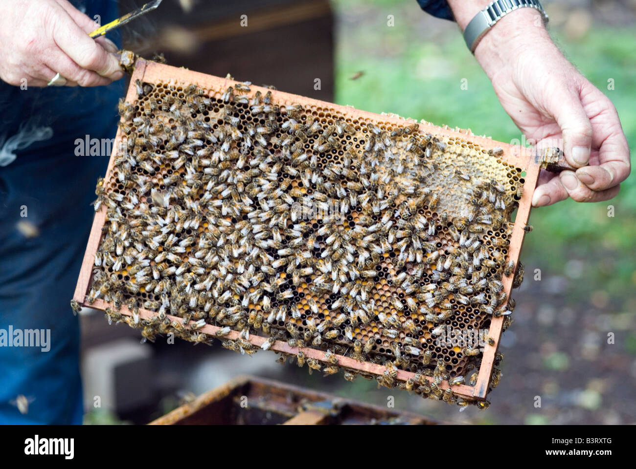 Honey Frame being lifted from the Hive - Stock Image
