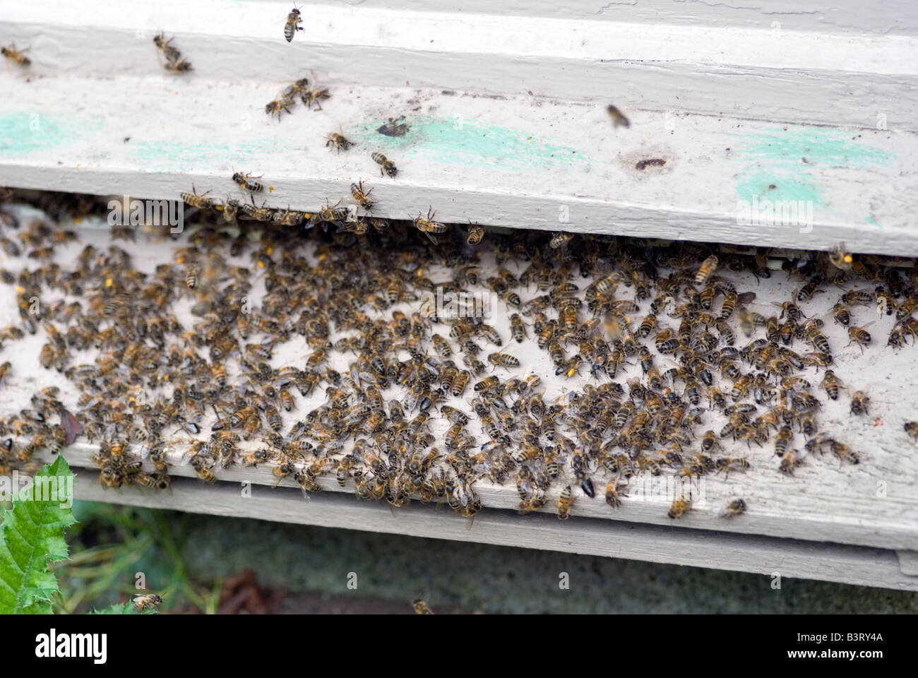 European Honey Bees - Stock Image