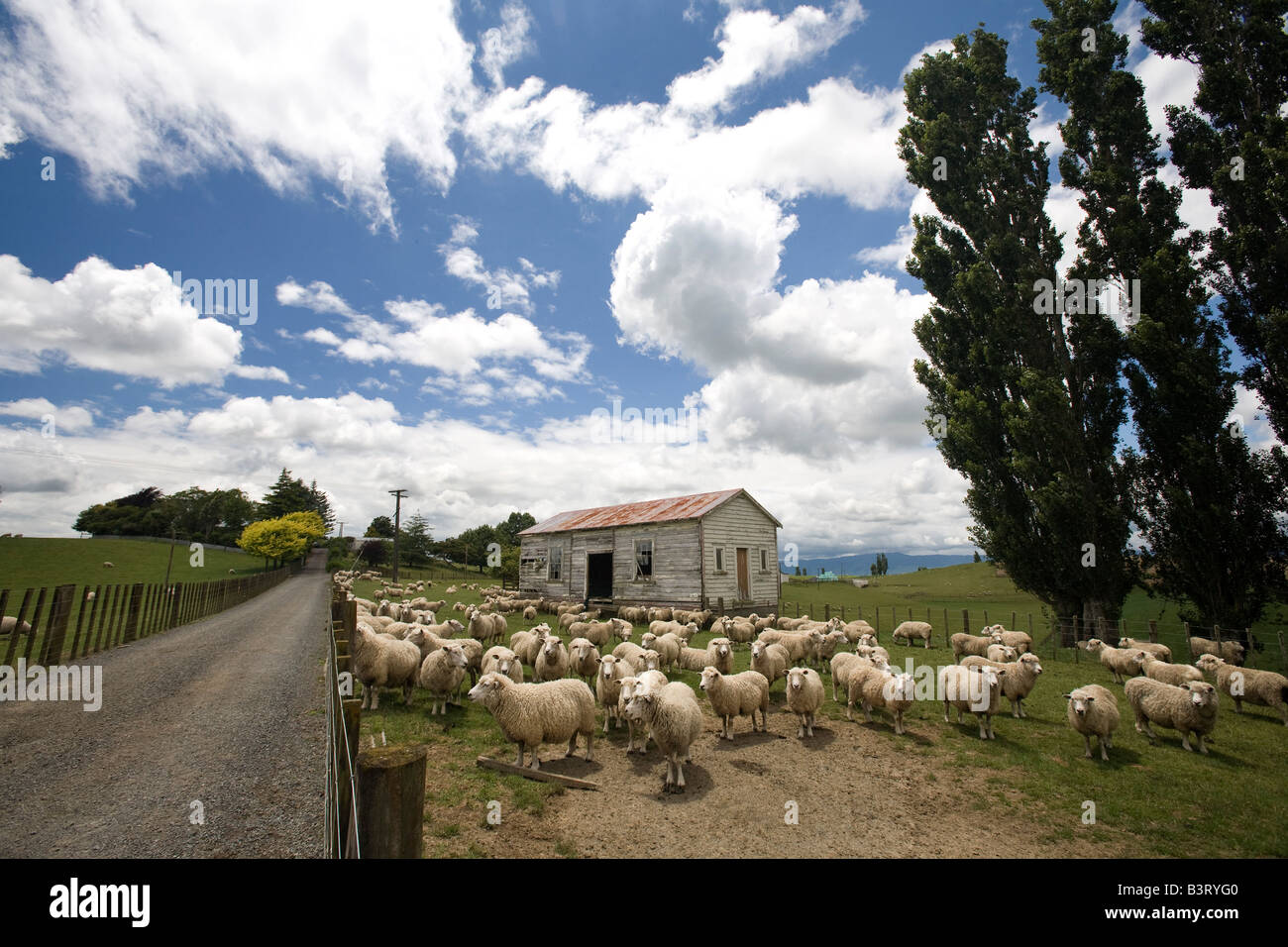 Sheep and derelict farmhouse, South Island, New Zealand - Stock Image