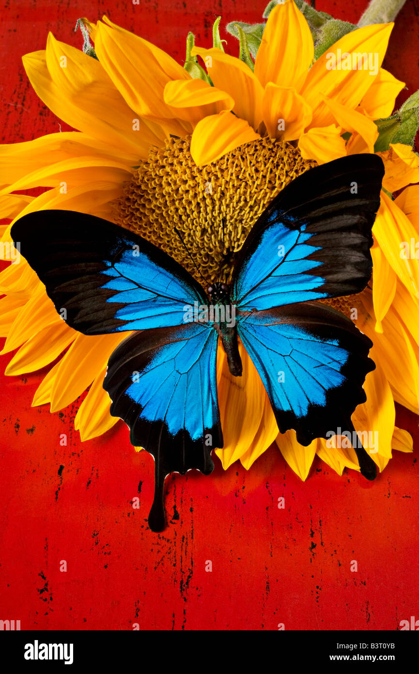 Blue butterfly on sunflower on red background Stock Photo ...