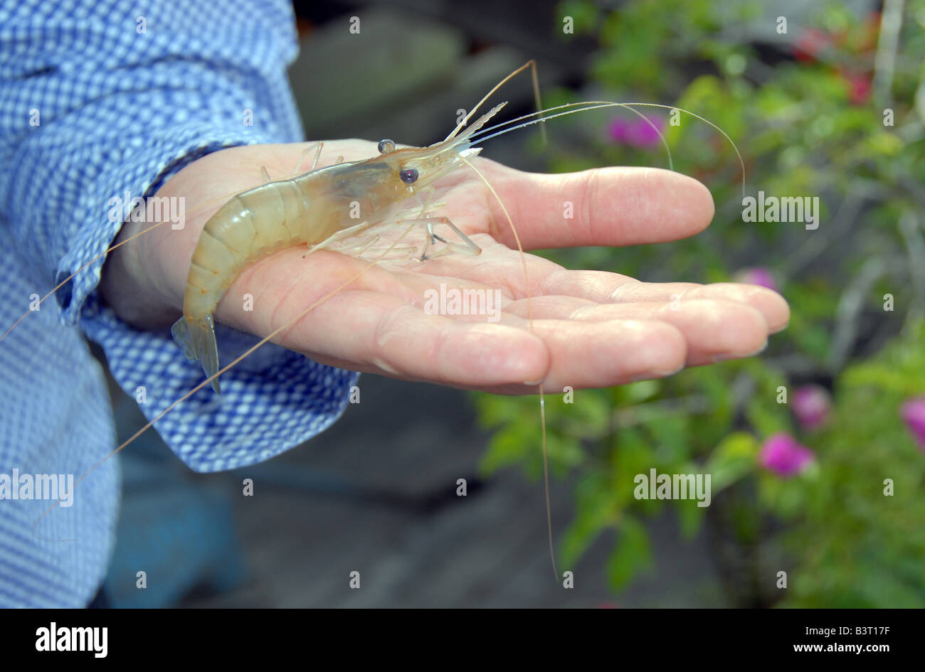 Malaysian Freshwater Transparent Shrimp Alive On Hand To Illustrate Stock Photo Alamy