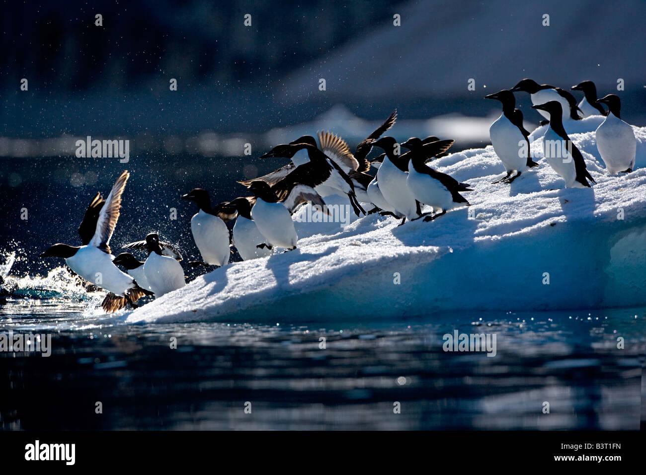 Thick-billed Murre (Uria lomvia) - Stock Image