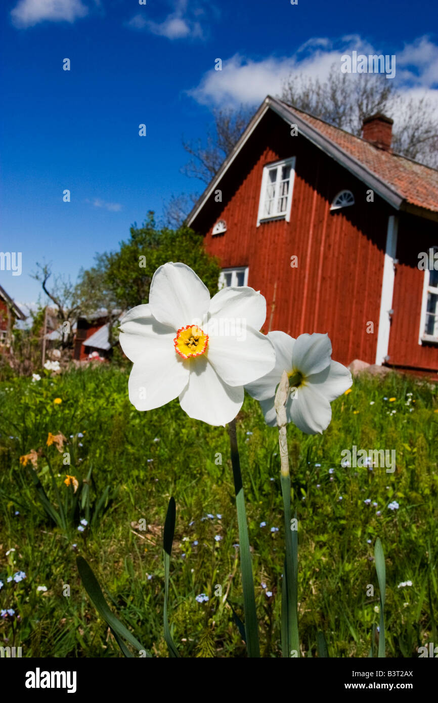 Red old cottage with Pheasant s eye daffodil in the garden - Stock Image