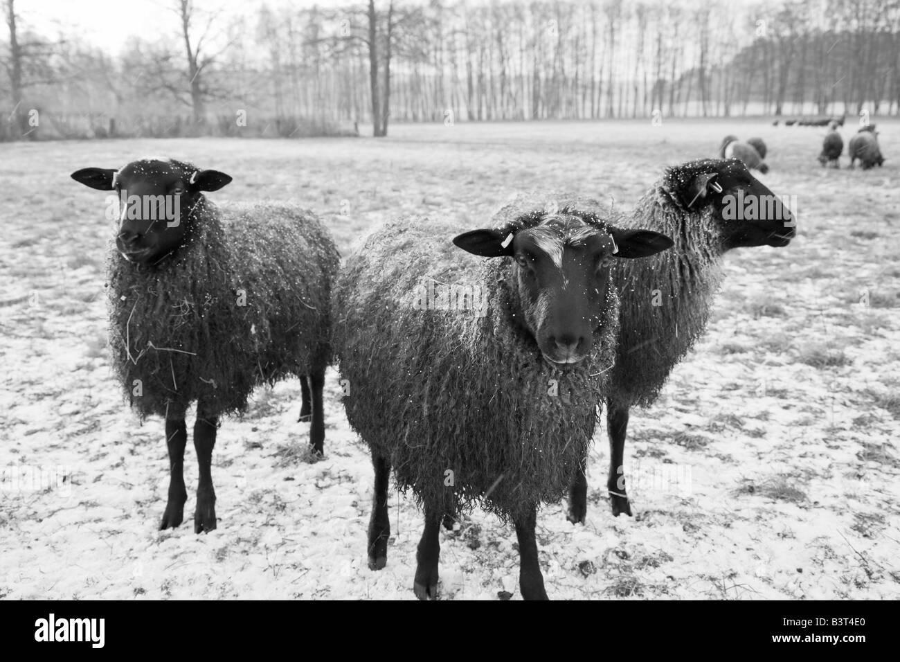 Three Gotland sheep a Swedish breed known for it s silky fur and it s friendly curiosity - Stock Image