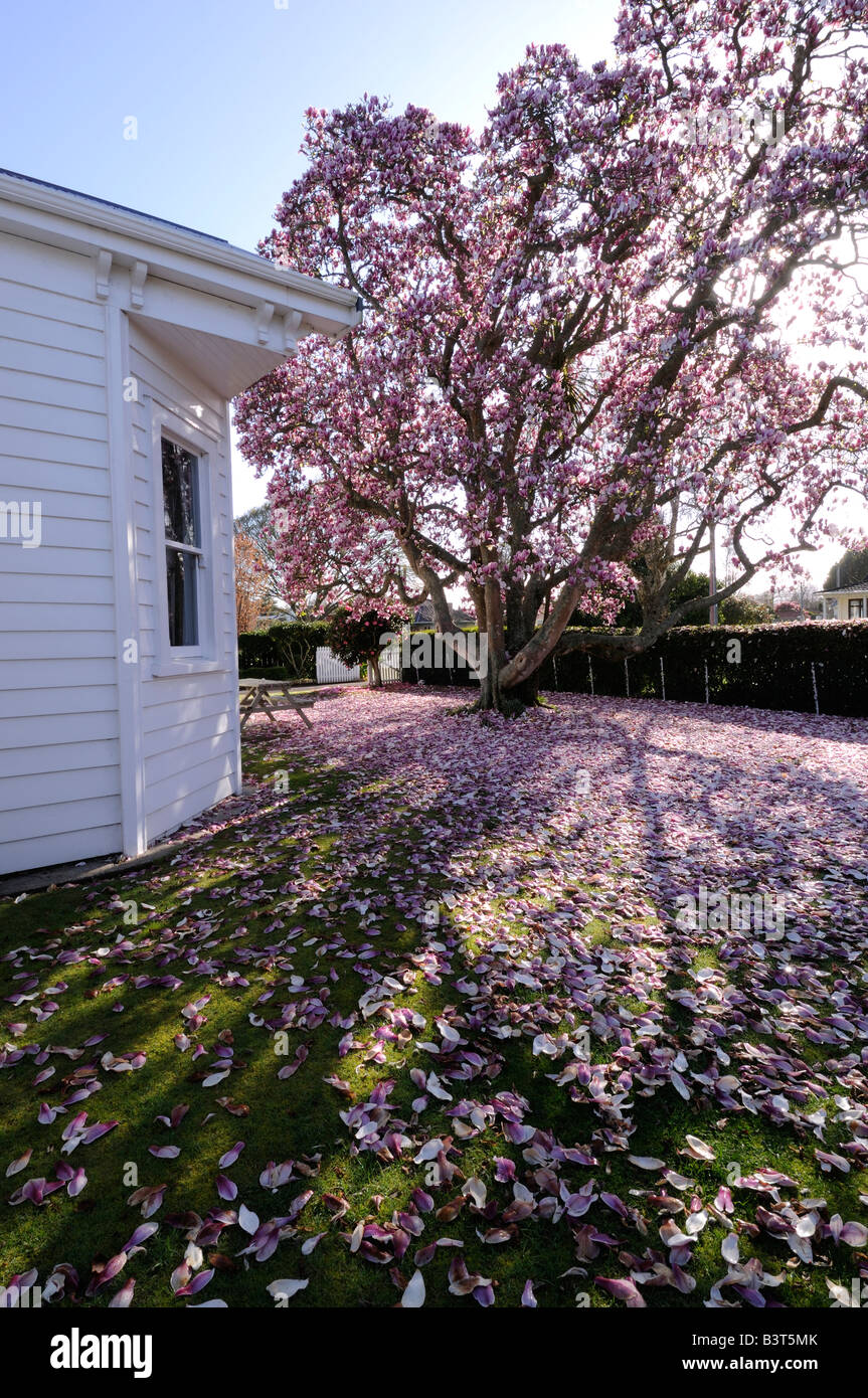New Zealand House With Magnolia Tree And Fallen Petals Scattering