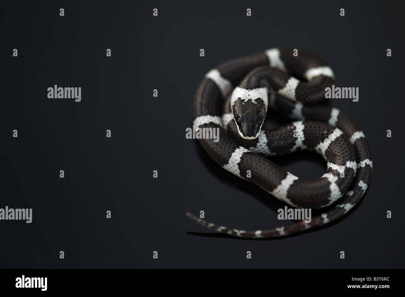 Lycodon septentrionalis. Juvenile White-Banded Wolf Snake on dark background Stock Photo