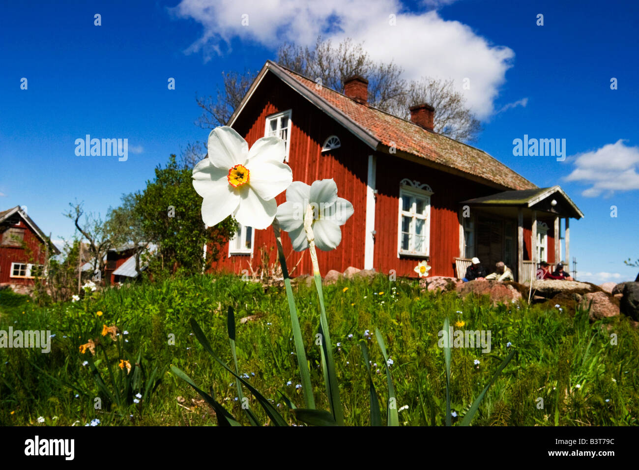 Red old cottage with Pheasants eye daffodil in the garden - Stock Image