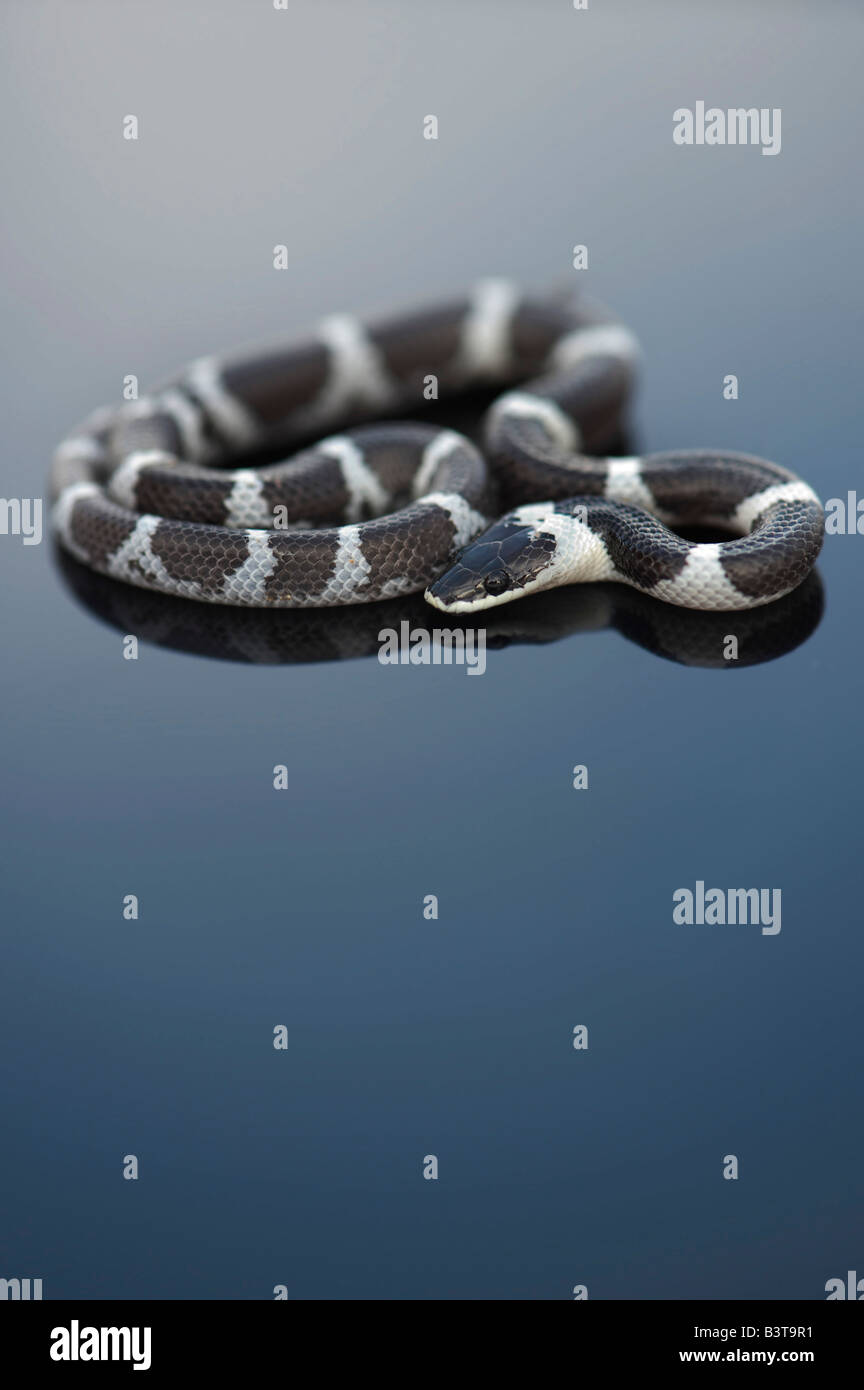Lycodon septentrionalis. Juvenile White-Banded Wolf Snake on dark background - Stock Image