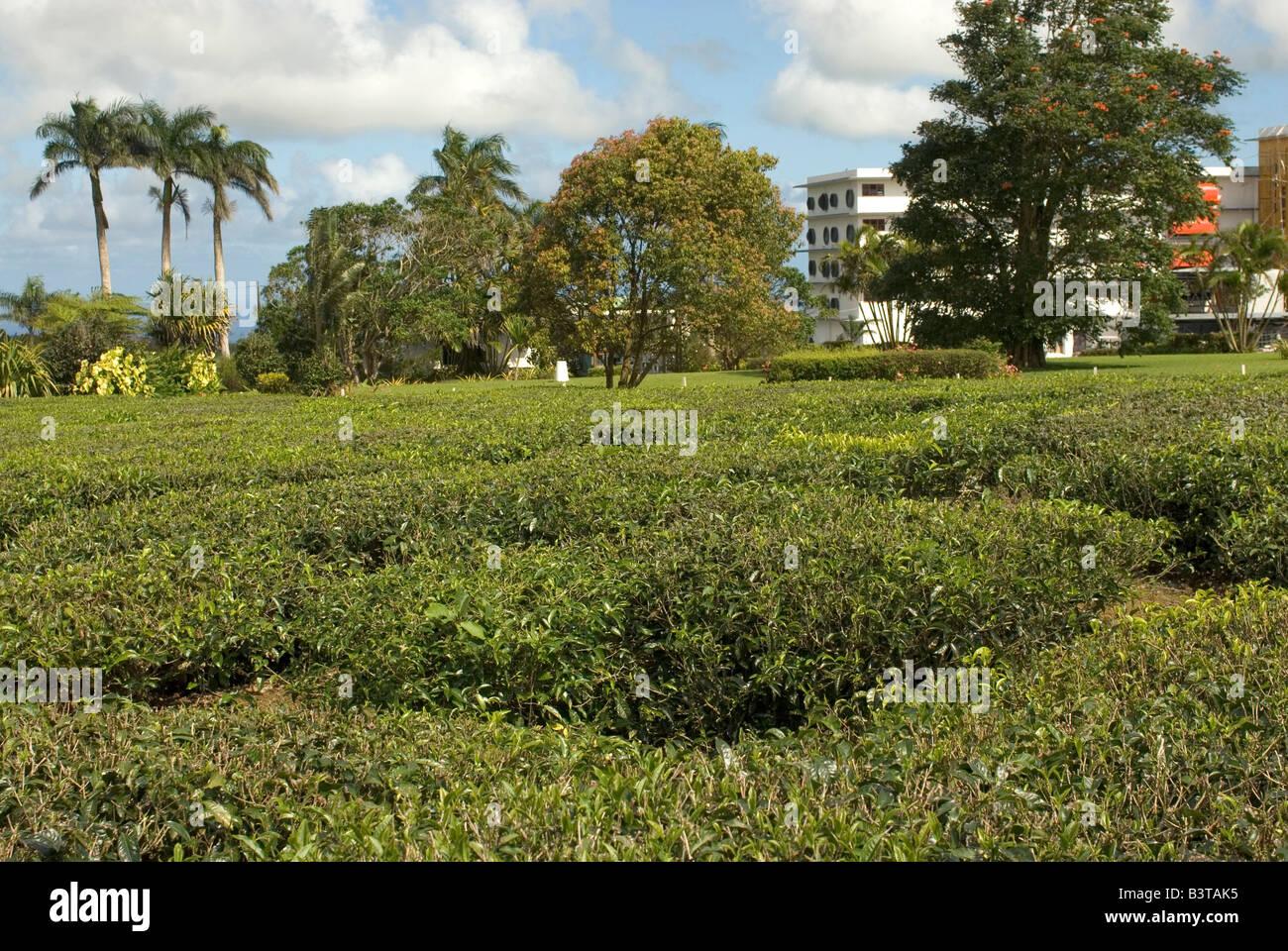 Mauritius Bois Cheri Tea Estate Produces 7 Different Types Of Black
