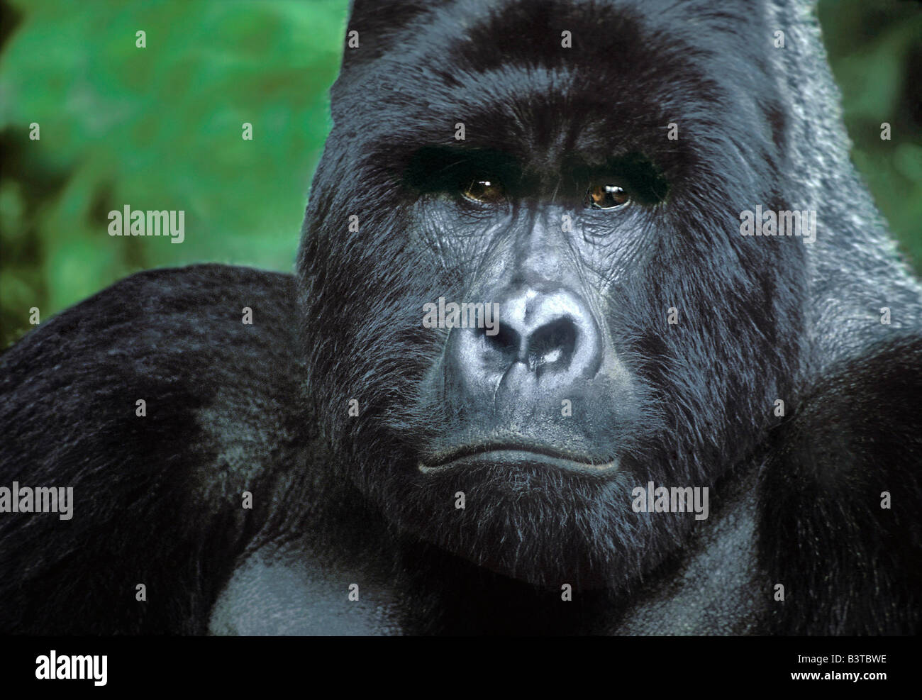 Africa, Zaire, Virungas National Park. Portrait of wild silverback mountain gorilla. - Stock Image