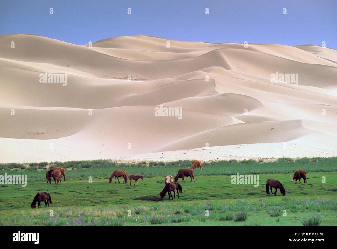 Asia, Mongolia, Gobi Desert. Wild horses. - Stock Image