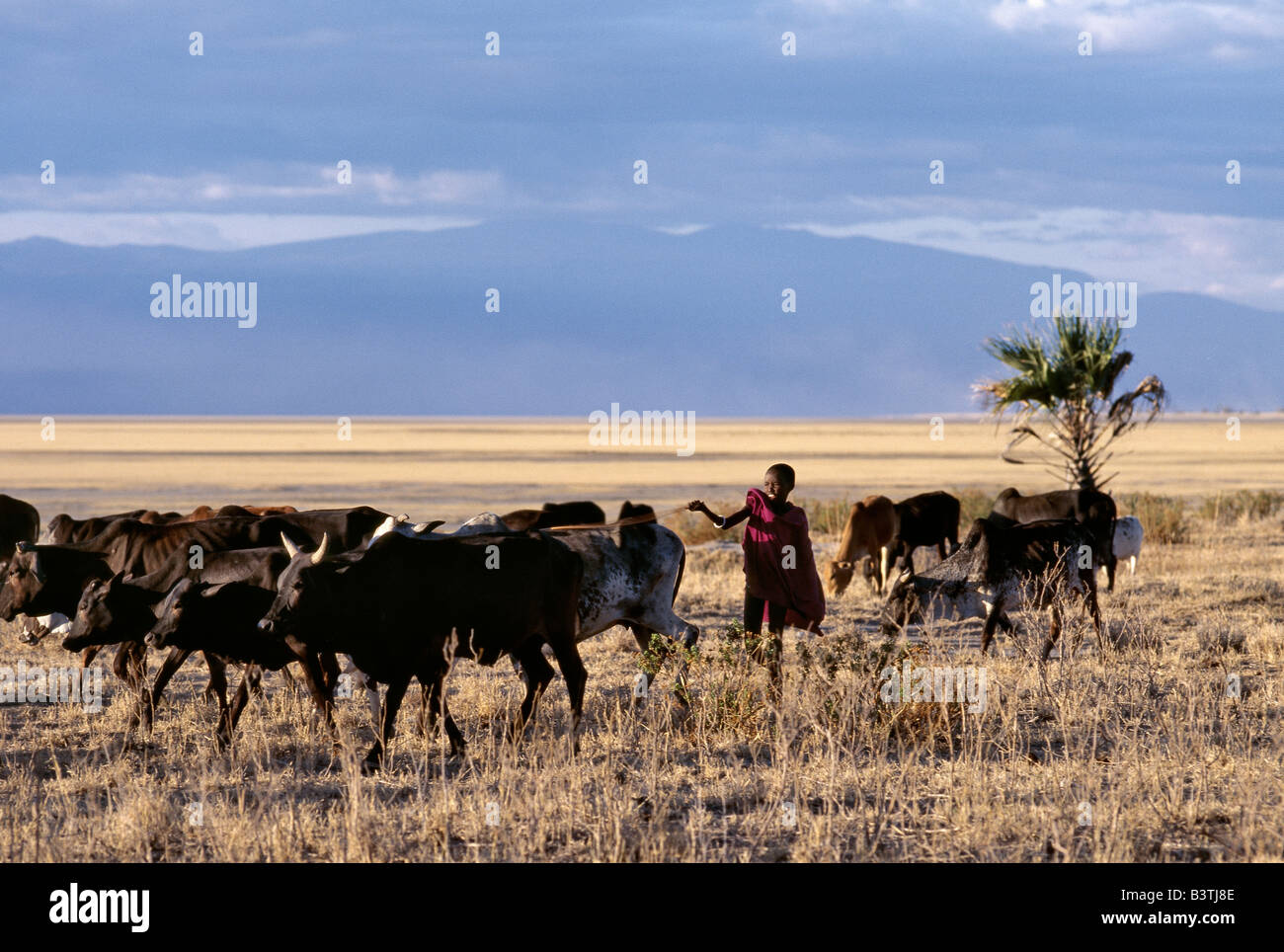 Tanzania, Northern Tanzania, Manyara. In the late afternoon, a Maasai boy drives his father's cattle home across - Stock Image