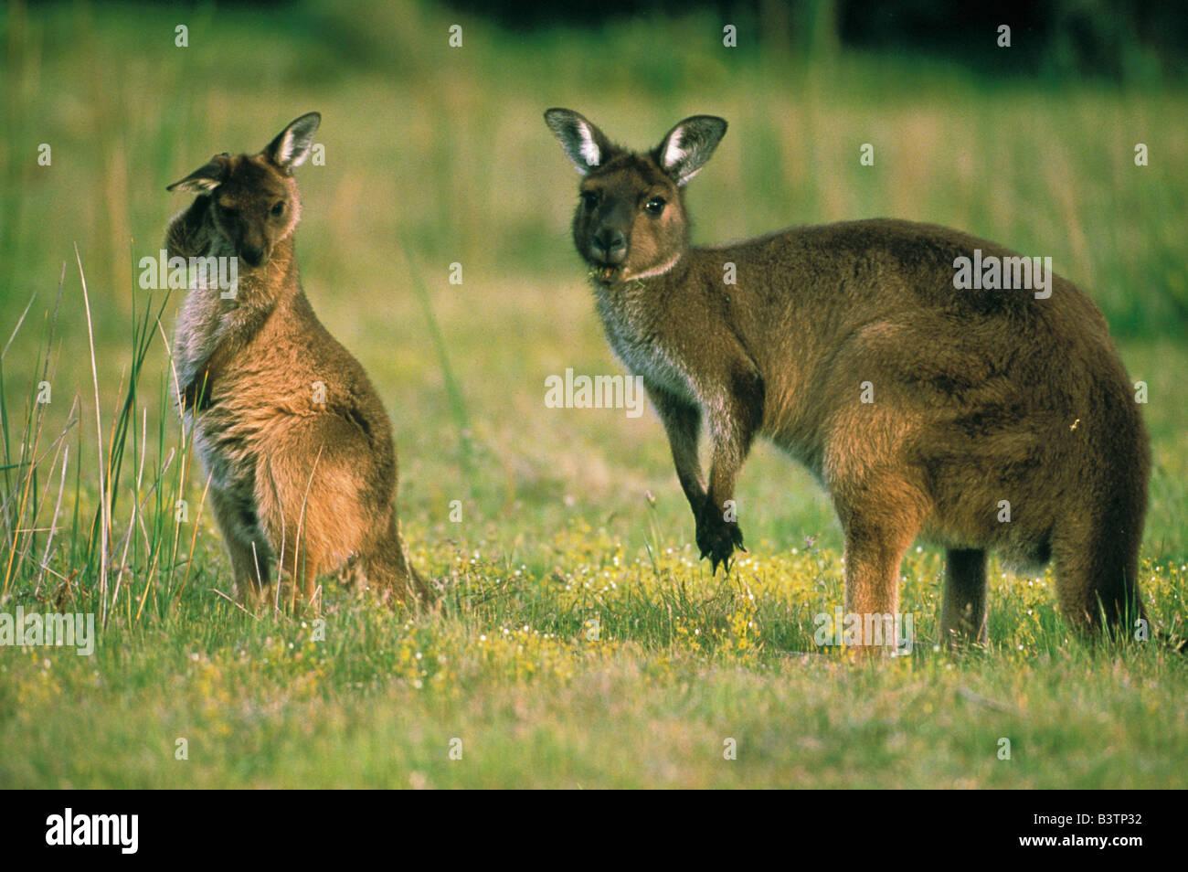 Australia, Kangaroo Island. Mother and Joey, subspecies of Western Grey Kangaroo. Stock Photo